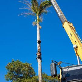 Largo do Carmo ganha 'nova' palmeira imperial